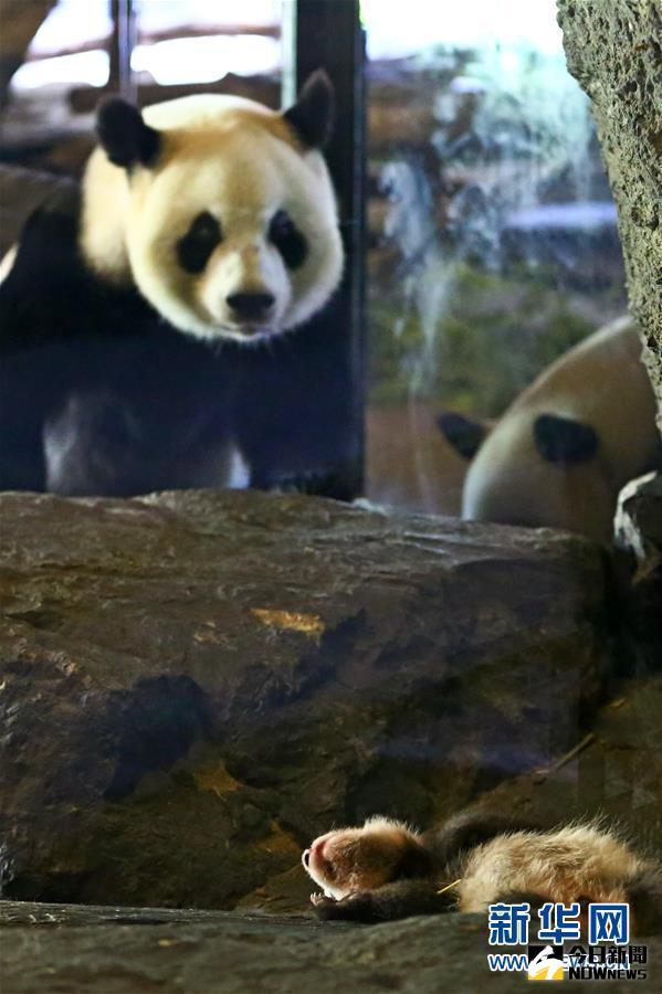 8月8日,在比利時布呂熱萊特的天堂動物園,大熊貓媽媽「好好」望著它的寶寶。