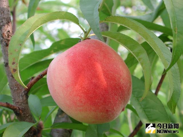 ▲桃子新品種紅鈴。(圖/林重鎣攝)