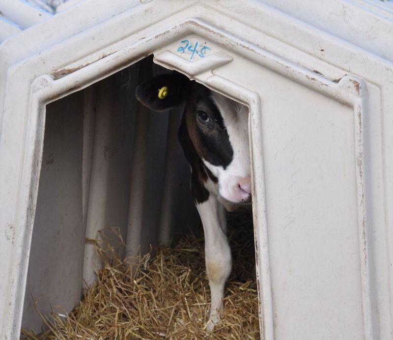 ▲英國乳牛住狹窄空間,身上處處有擦傷。(圖/翻攝自dailymail)