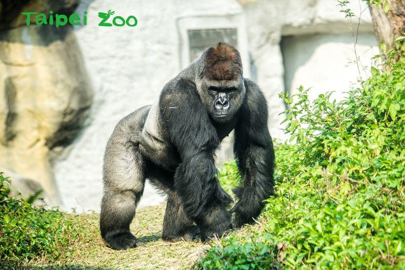 ▲動物園將於4月1日舉辦活動,並邀請大小朋友將不用的3C產品回收,保護金剛猩猩棲息地。(圖/台北市立動物園提供)