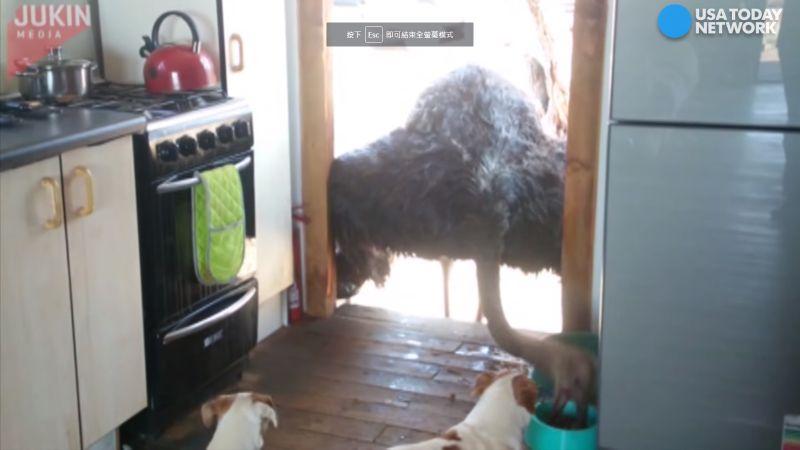 ▲鴕鳥伸長脖子吃飼料,狗狗不停吼叫看傻眼。(圖/翻攝自YouTube)