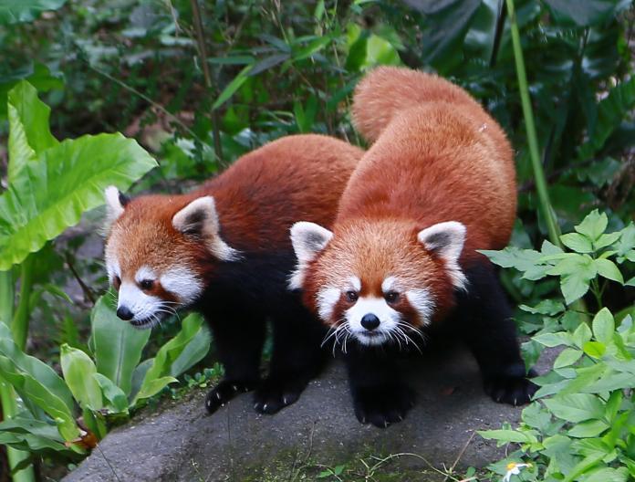 木柵動物園好「孕」氣 再添雙胞胎<b>小貓熊</b>