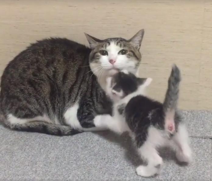 今日最萌寵》小貓撒嬌磨蹭 <b>貓媽媽</b>淡定不理會