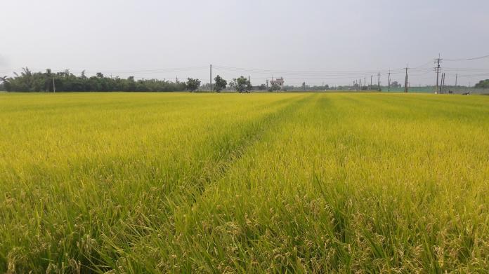 農糧署擴大學校用餐食米供售 幼稚園到高中團膳都吃得到