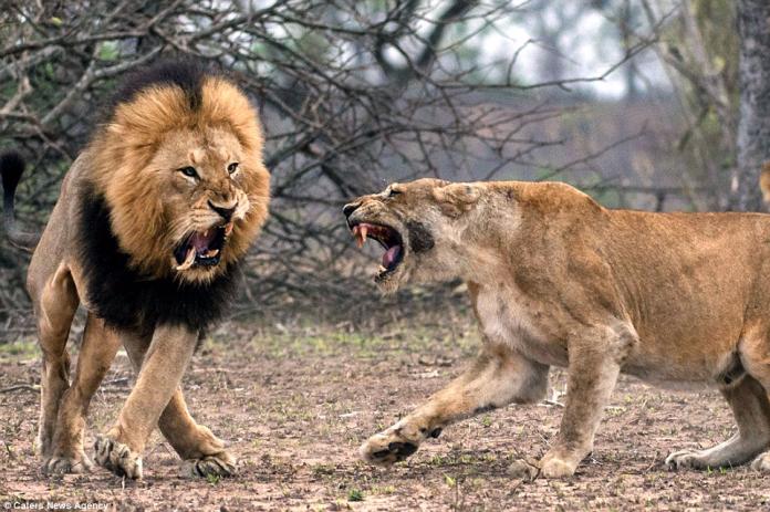 國際萬花筒》女童到姑姑家玩 竟慘遭獅子活活咬死