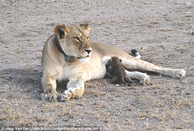 國際暖新聞》跨越物種的母愛!野生母獅哺乳小獵豹