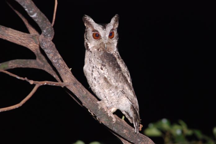 探索黑夜猛禽 認識貓頭鷹就是現在