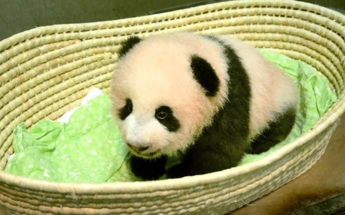 影/滿百日 日本上野貓熊寶寶有名字了