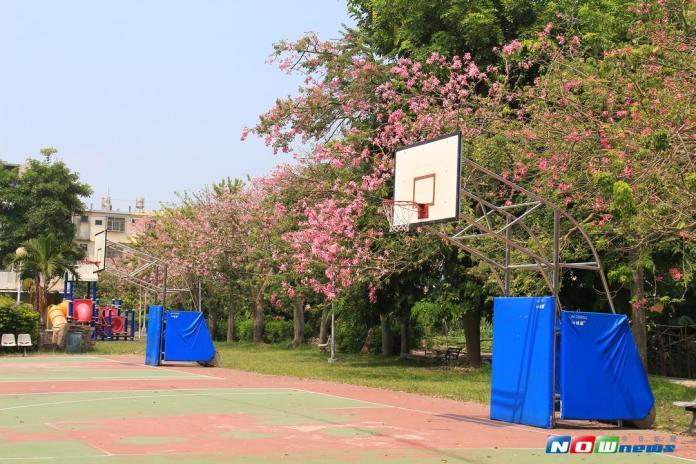 美人樹開滿宛如櫻花 只能遠觀不能褻玩焉