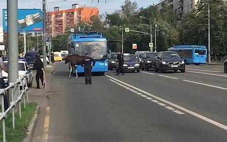 ▲麋鹿誤闖大馬路,造成交通大打結。(圖/翻攝自每日郵報)