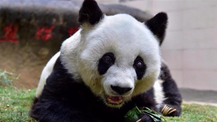 今日新聞TOP5》全球最長壽貓熊病逝 遺體將做成標本
