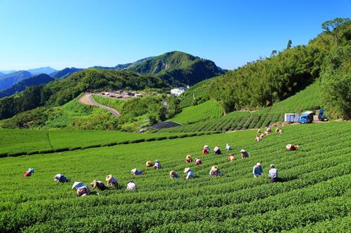 ▲圖說:阿里山茶區位於中高海拔山坡地。(圖/凰聖茶廠提供 , 2017.12.08)