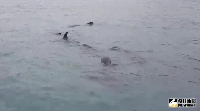 20隻鯨豚迷航 海岸巡防總隊協助導引回大海