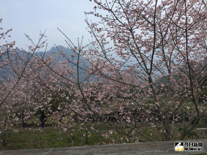 ▲阿里山花季自15日起,為期25天。(圖/記者陳鐘聲攝 , 資枓照片\\)