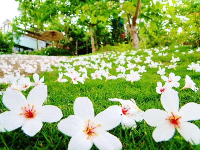 ▲每年 4 月到 6 月是賞桐花的最佳時間,拍照打卡就有機會抽中iPhoneX等總價值超過 10 萬元的獎項。(圖/行政院農業委員會)