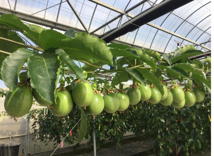 <b>百香果</b>栽培觀摩會 歡迎農友踴躍參加