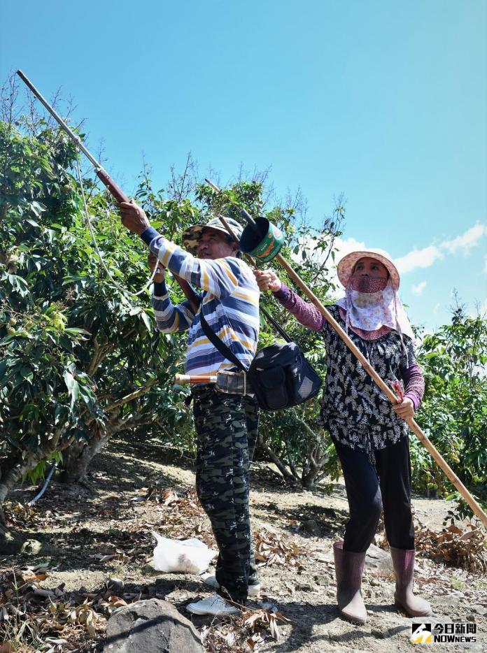 潑猴群橫掃滿州<b>玉荷包</b>老農哭了 公所聘獵人鳴槍驅猴