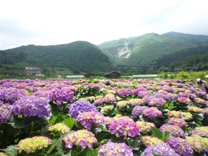 ▲竹子湖繡球花季正式來臨,即日起至 6 月中旬都是賞花的最佳時機。(圖/台北市農會)