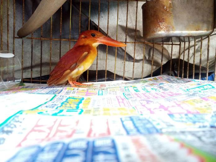 ▲網友從家中飼養的寵物貓口中搶救出了保育鳥類赤翡翠,因為不知道該如何救助因此將訊息貼上了PTT,馬上就受到鳥友王衍智教授的關心和救助。(圖/拍鳥俱樂部成員王衍智提供 , 2018.05.25)