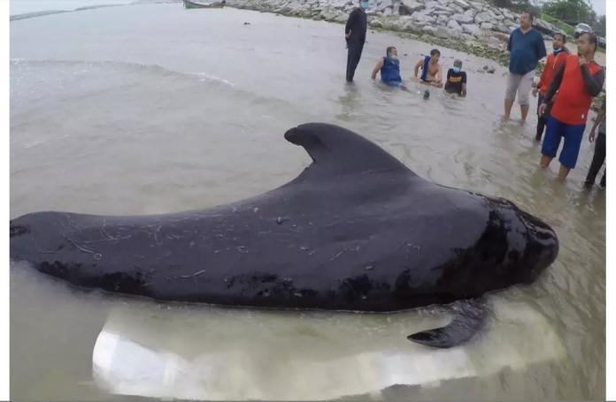 ▲一隻領航鯨上月底擱淺在泰國塔普潛灣岸邊,獲救後卻5度吐出塑膠袋,最後重病死亡。(圖/翻攝自英國獨立報)