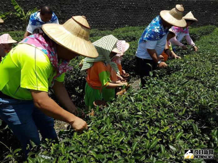 影/製茶高手照過來 全國紅茶競賽7月7日冬山決勝負