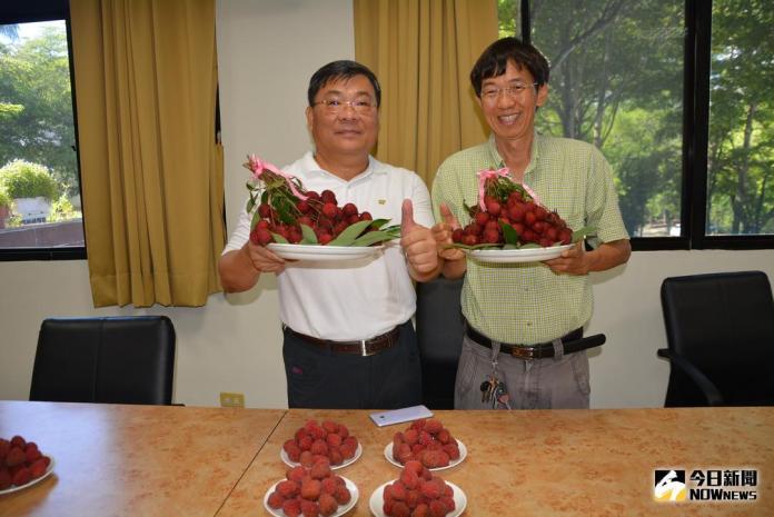 台農5號紅寶石荔枝 味美量高儲期長