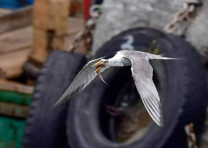 鳳頭燕鷗「卡管」無法進食 生態浩劫現隱憂