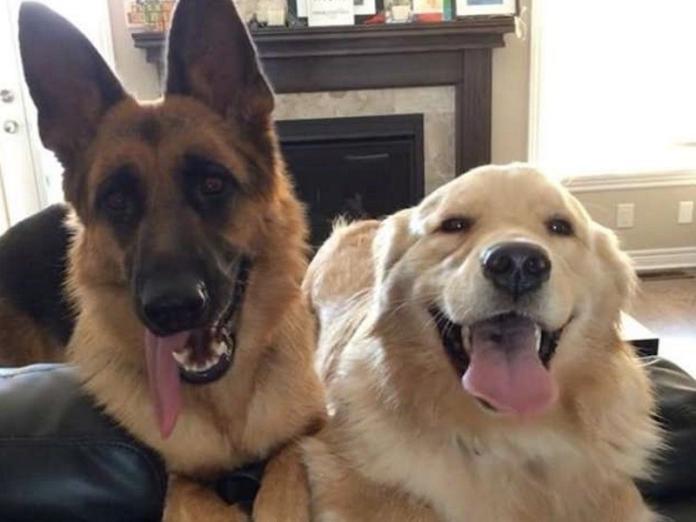 德國狼犬和黃金獵犬個性超互補 見面後一拍即合成好友