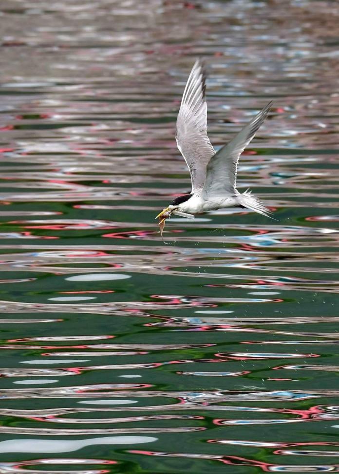 鳳頭燕鷗嘴巴卡吸管無法進食 拍鳥俱樂部籲減塑