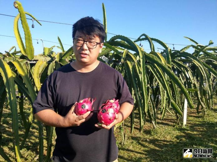 ▲種了8公頃紅龍果的謝孟翰選擇耐貯放的蜜寶及大紅品種,主攻加拿大為主的外銷市場。(圖/農糧署南區分署提供)
