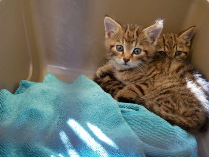 萌萌野貓竟是超珍稀<b>瀕危動物</b> 保育組織呼籲看見「請馬