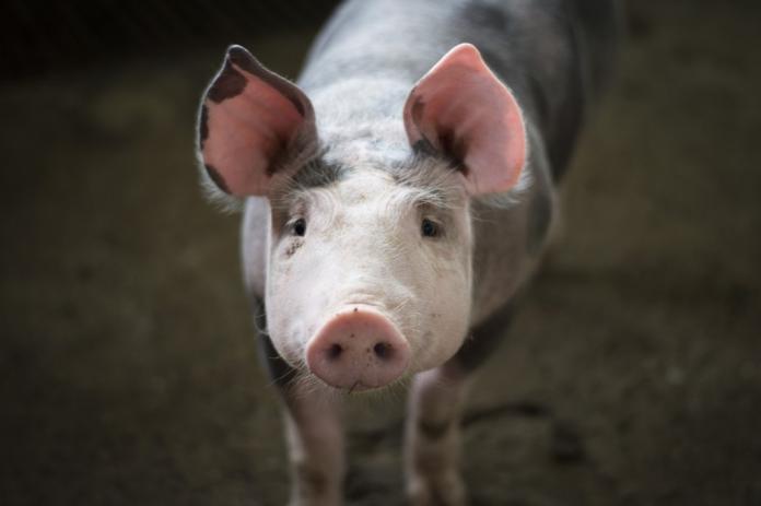 ▲農委會宣布,台灣獲世界動物衛生組織(OIE)通知,自口蹄疫區除名。(圖/保庇)