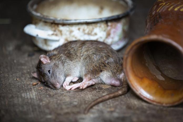 ▲一則 2 隻老鼠激烈對打影片近期在網路上瘋傳,網友看完意猶未盡地說,「跪求續集」。(示意圖/翻攝自pixabay)