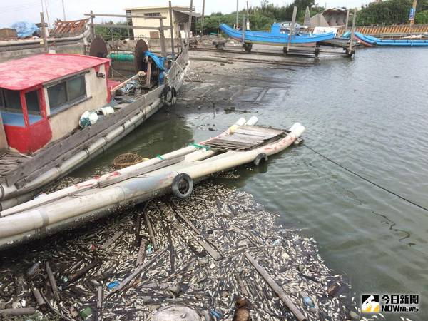 數萬尾魚暴斃<b>王功漁港</b> 疑高溫溶氧熱死魚屍浮滿水面