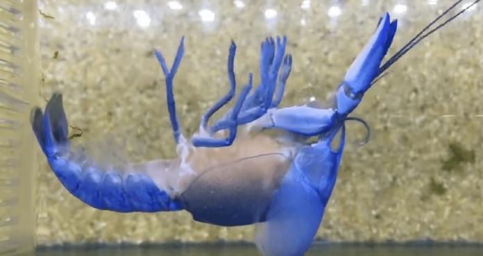 ▲藍色小龍蝦翻肚抽蓄,下秒「絕美重生」感動網友。(圖/翻攝自 YouTube )