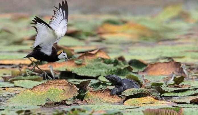 ▲水雉爸爸為了保護幼雛,揮舞著翅膀與鱉在水池中對峙。(圖/拍鳥具樂部蕭灑提供 , 2018.08.07\\)