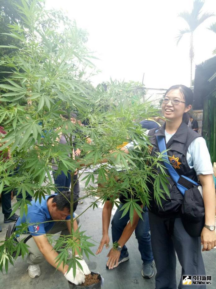 大麻園藏身南投國姓山區 起獲511棵植株