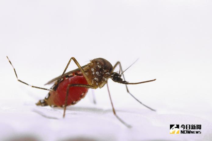 ▲埃及斑蚊,Aedes aegypti。圖片來源:美國農業部 USDA-ARS(圖/環境資訊中心)