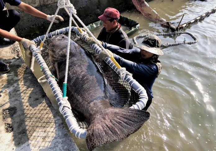 擅長人工復育養殖石斑的龍佃公司,贈送4尾被稱為龍膽的鞍帶石斑魚給海洋生物博物館。(圖/郭孟聰翻攝)