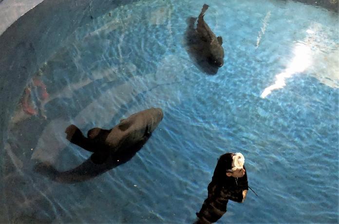 ▲擅長人工復育養殖石斑的龍佃公司,贈送4尾被稱為龍膽的鞍帶石斑魚給海洋生物博物館。(圖/郭孟聰翻攝)