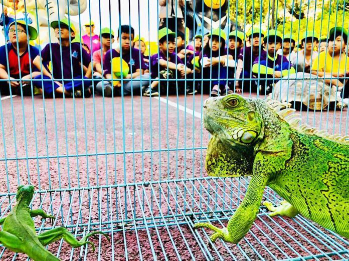 ▲壽山動物園今年帶著美洲綠鬣蜥、球蟒及蘇卡達象龜到校園,讓小朋友近距離觀察。(圖/記者陳美嘉翻攝)