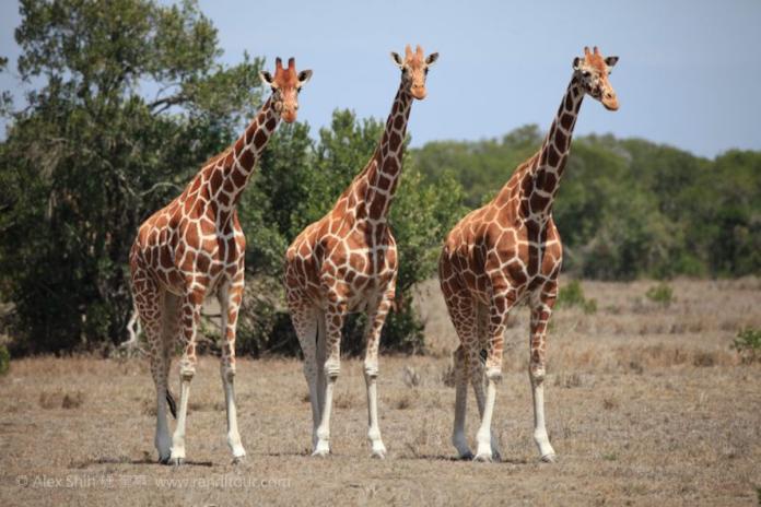 數量少4成!美動保團體考慮將<b>長頸鹿</b>列「瀕危」物種
