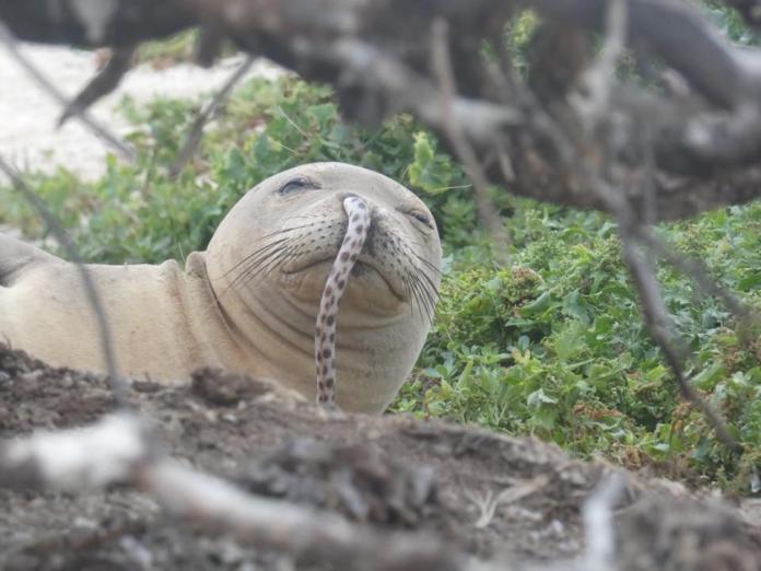 海豹遭<b>鰻魚</b>卡鼻 研究人員爆可能原因