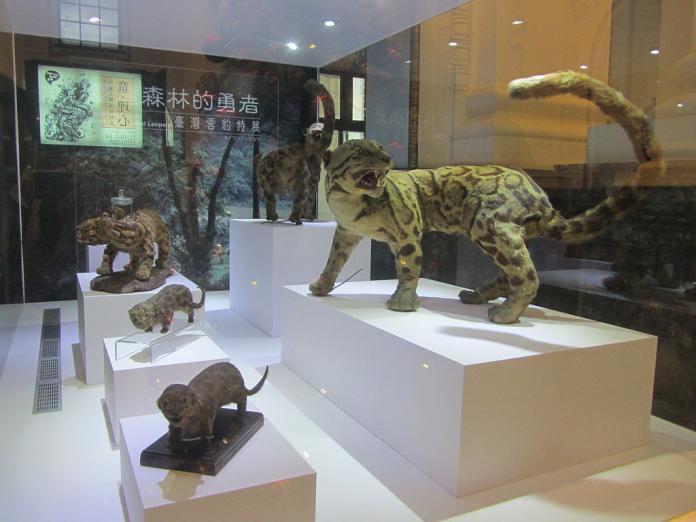 國立臺灣博物館內的台灣雲豹標本。