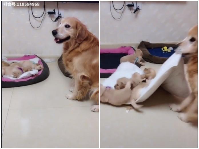▲大陸這隻黃金獵犬「艾迪」看見自己狗兒子們霸佔自己的床,竟咬走孩子們的床墊。(圖 / 翻攝自抖音)