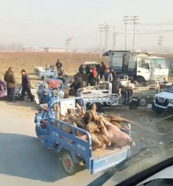 非洲豬瘟疫情在中國大陸蔓延,現在竟有商人在鄉下較沒有人的地方,進行死豬交易。(圖/翻攝「記錄中國6.0」臉書粉絲頁影片)