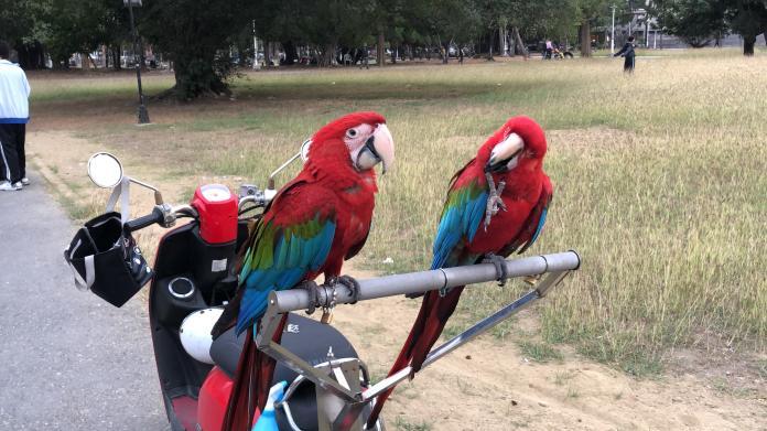 金剛鸚鵡智商高,人工飼養的金剛鸚鵡則只忠誠其飼主。寵物金剛鸚鵡像人一樣需要恆常的互動、照料及愛心