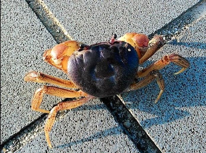 ▲澎湖海洋生物中心在七美首次發現新品種的陸蟹-拉氏仿地蟹蹤跡(圖/冼宜樂提供)