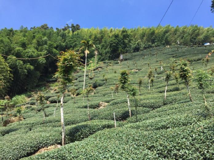 阿里山賽茶、茶王擂台賽出爐 5日將頒獎