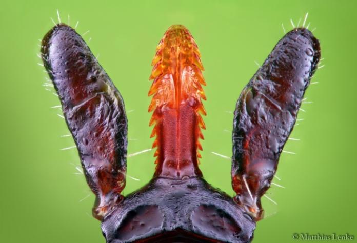 <br> ▲壁蝨的口器上有倒鉤,硬拔反而會把口器留在體內。( 圖 / 翻攝自網路)